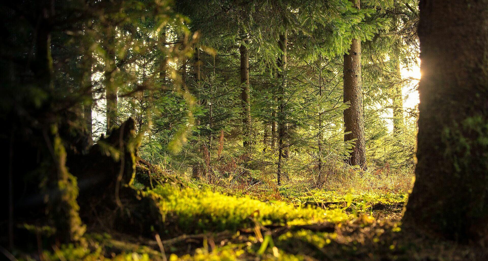 Stimmungsbild in goldenem Wald im Vordergrund Waldmoos wie es natürlich wächst.